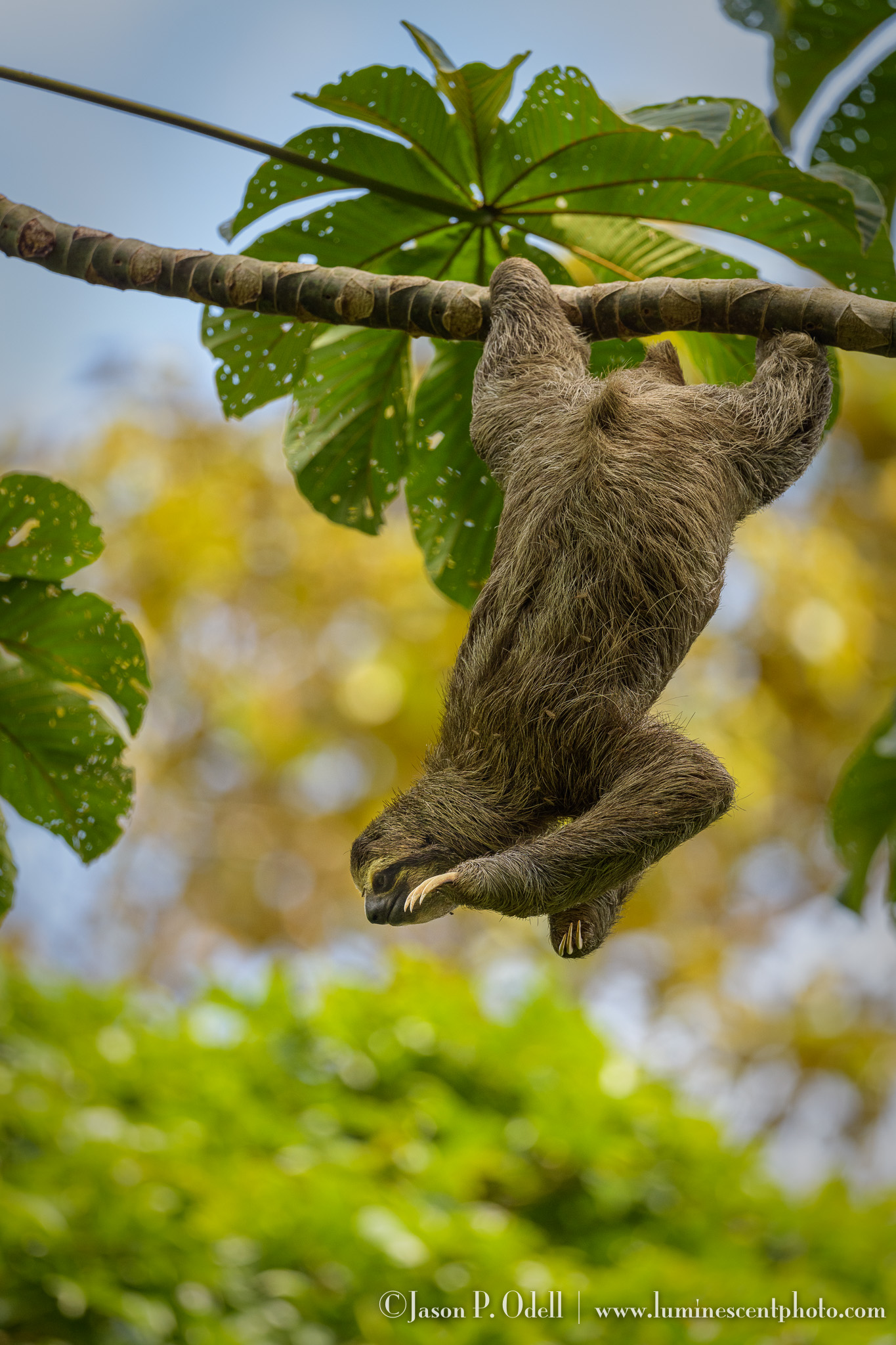 three-toed sloth, Panama