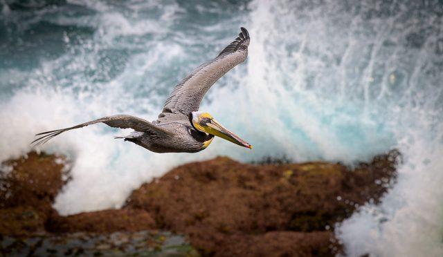 Coastal California Birding & Wildlife Workshop