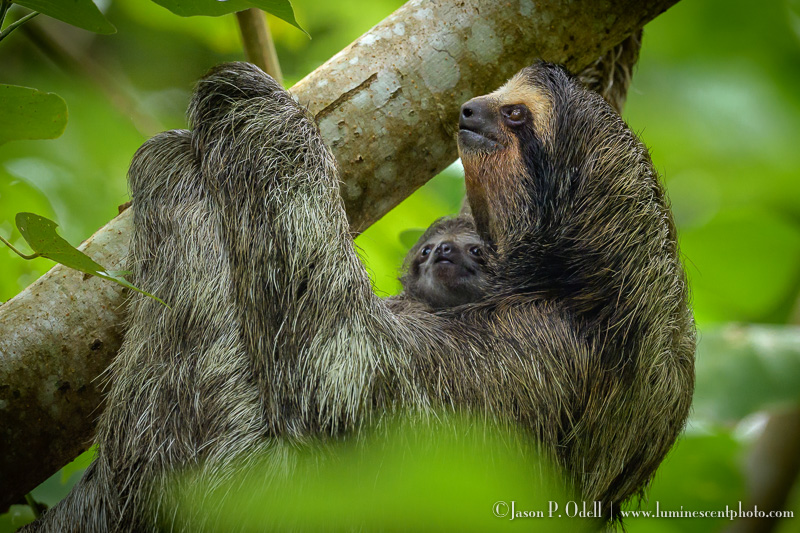 Mother sloth with her baby, Bocas del Toro, Panama. © Jason P. Odell